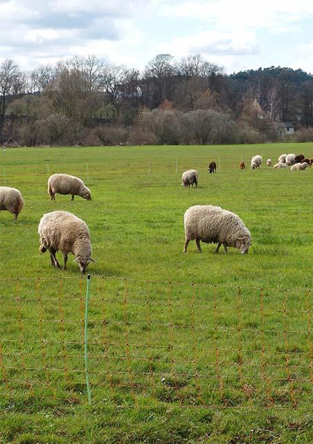 Schafe in der Aue